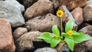 Gele bloem groeit in rotsen